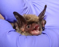 Northern Long-Ear bat